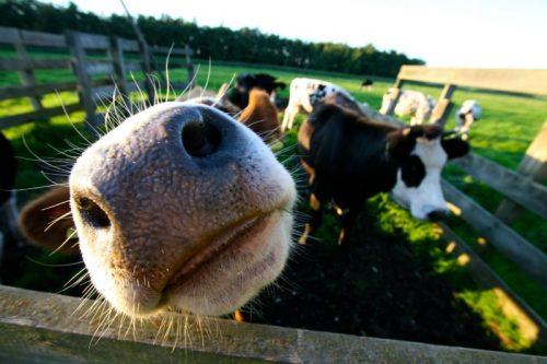 Eine Kuhweide. Eine Kuh streckt ihr Maul direkt dem Betrachtenden entgegen.