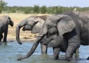Symbolbild: Elefanten und andere Wildtiere werden aus Sicherheitsgründen gefilmt